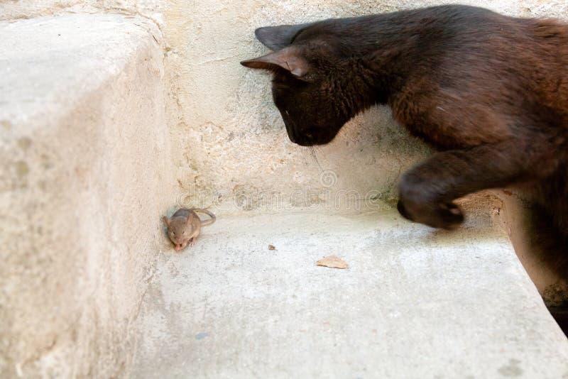 Gato negro y ratón en un cazador - relación de la presa fotografía de archivo libre de regalías