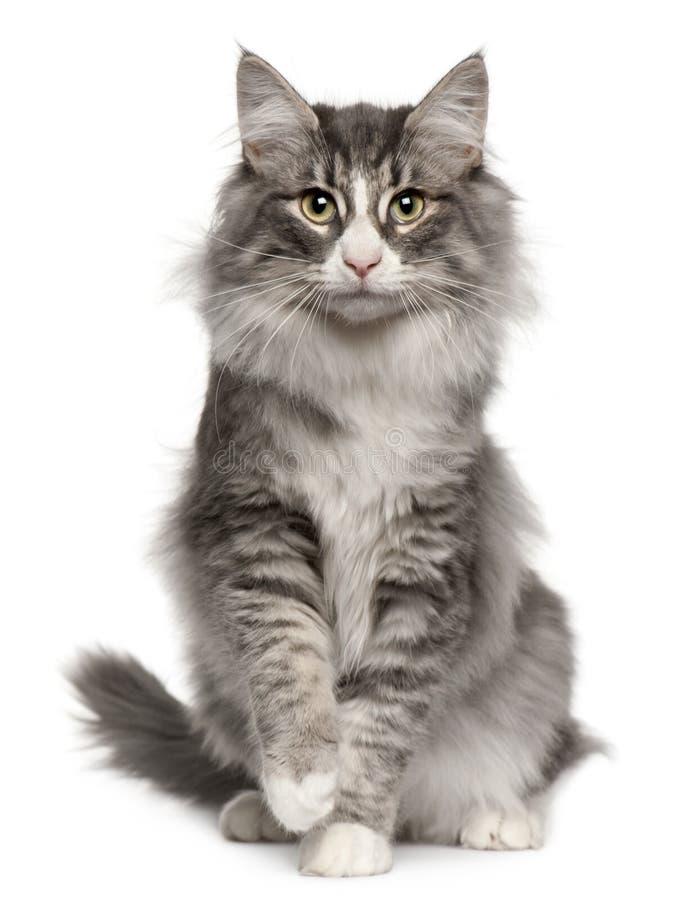 Gato noruego del bosque, 5 meses, sentándose imágenes de archivo libres de regalías