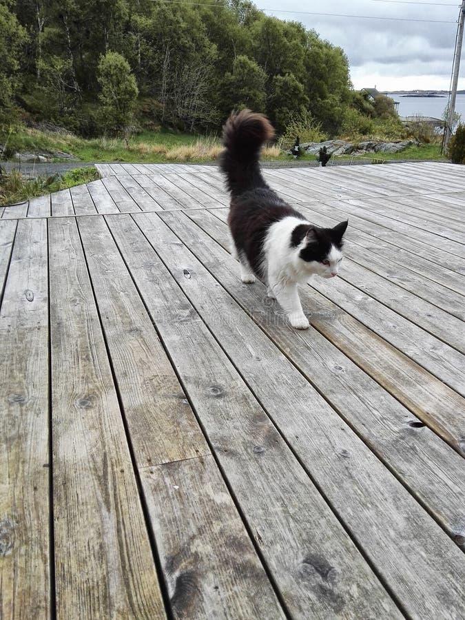 Gato noruego imágenes de archivo libres de regalías