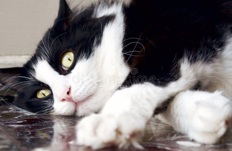 Gato norueguês preto e branco da floresta que encontra-se para baixo no assoalho foto de stock royalty free