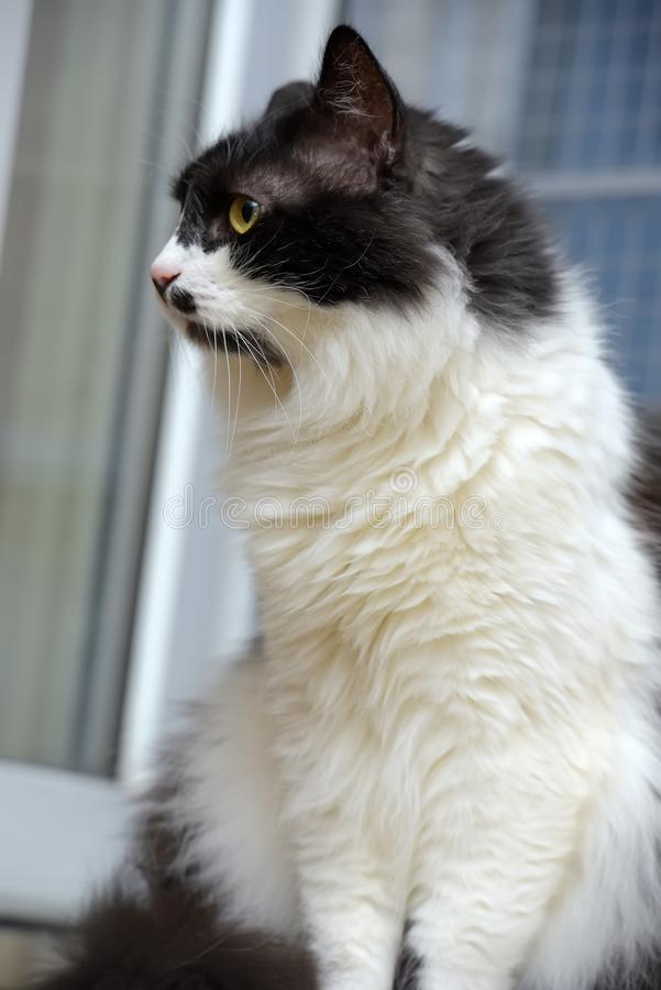 Gato noruegu?s macio preto e branco da floresta imagens de stock royalty free