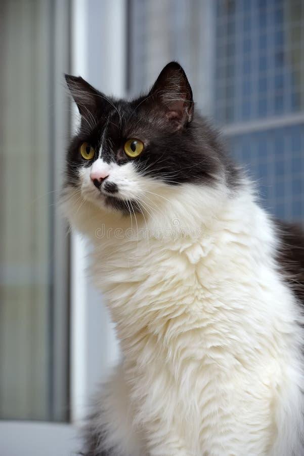 Gato noruegu?s macio preto e branco da floresta fotos de stock