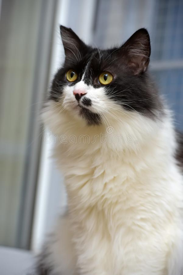Gato noruegu?s macio preto e branco da floresta imagem de stock