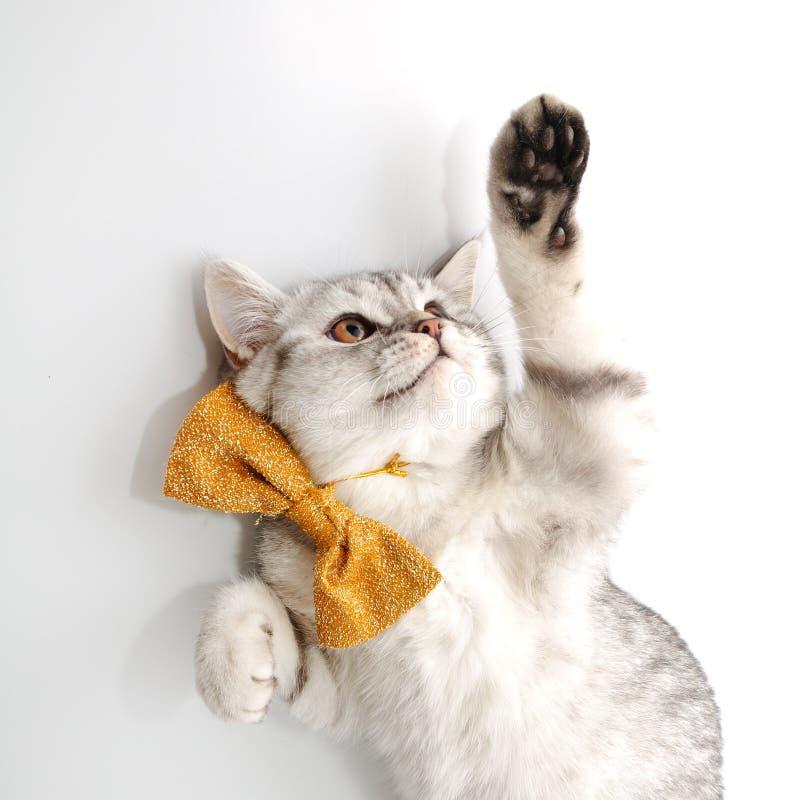 Gato novo adorável do gatinho com jogo do laço de curva foto de stock