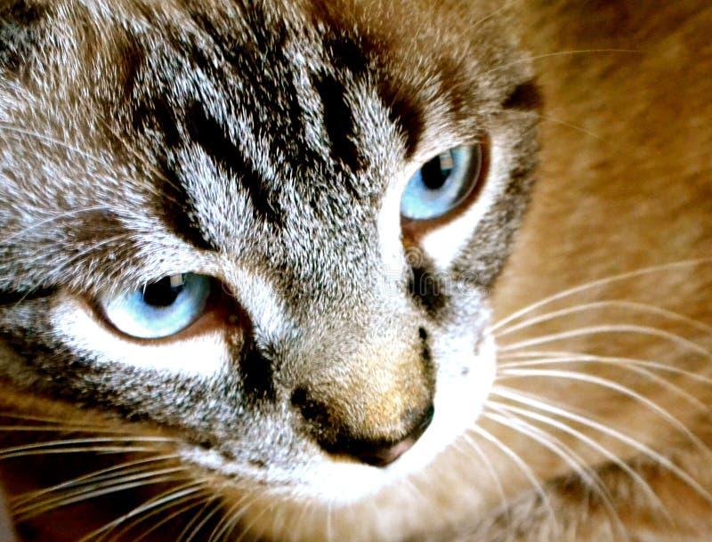 Gato observado azul hermoso de la Siamés-mezcla fotografía de archivo