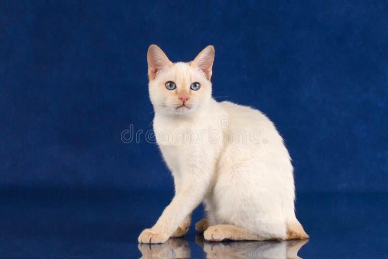 Gato observado azul juguetón de la cola cortada del Mekong de la raza en fondo azul del estudio imagen de archivo