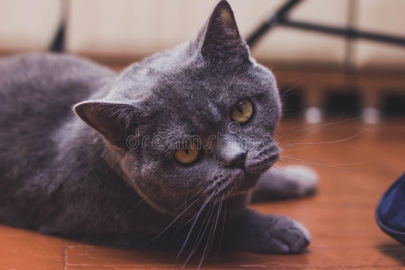 Gato orgulloso noble que miente en travesaño de la ventana El Shorthair británico con gris imagen de archivo