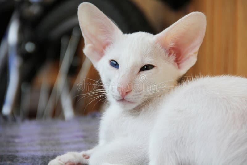Gato oriental blanco con los ojos de diversos colores imagen de archivo libre de regalías