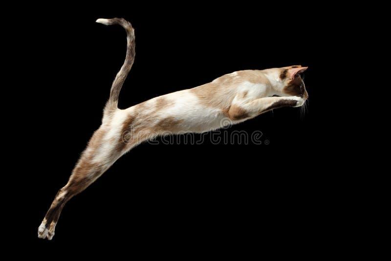 Gato oriental de salto isolado no preto fotos de stock royalty free
