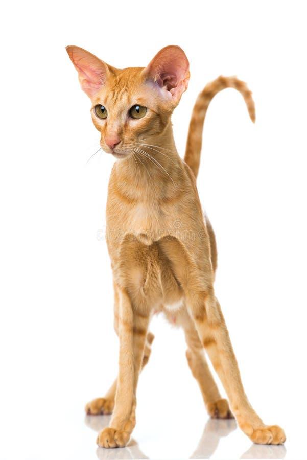Gato oriental do cabelo curto imagens de stock