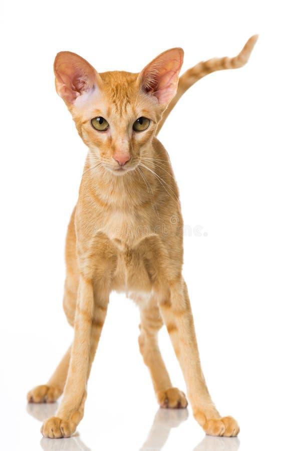 Gato oriental do cabelo curto imagens de stock royalty free