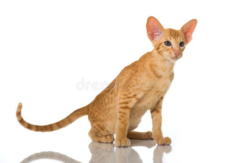 Gato oriental do cabelo curto foto de stock
