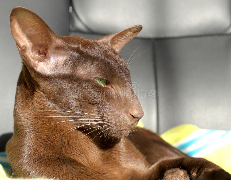 Gato oriental do marrom escuro com olhos verdes imagens de stock royalty free