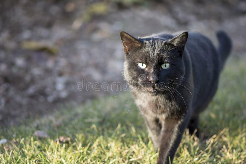 Gato oriental do shorthair na área exterior, campo de grama imagem de stock royalty free