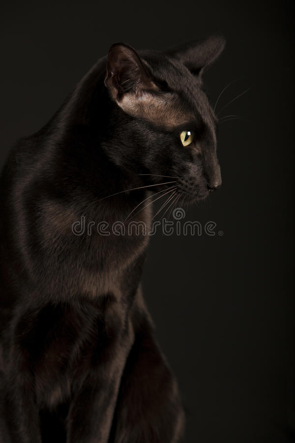 Download Gato oriental negro imagen de archivo. Imagen de malévolo - 44856515