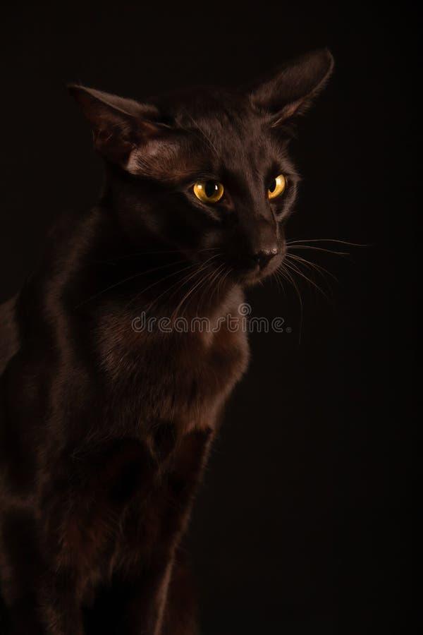 Gato oriental negro foto de archivo libre de regalías