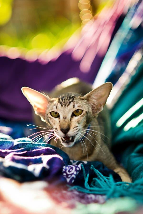 Gato oriental nervioso del shorthair con la boca abierta foto de archivo libre de regalías
