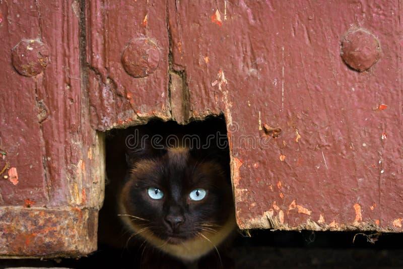 Gato oscuro en un agujero con los ojos claros fotografía de archivo libre de regalías