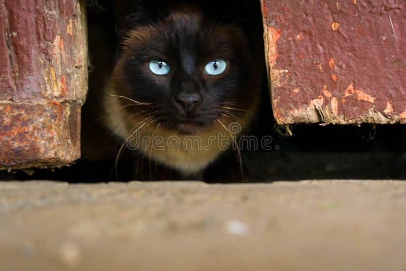 Gato oscuro en un agujero con los ojos claros fotos de archivo