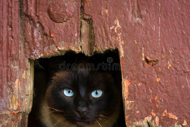 Gato oscuro en un agujero con los ojos claros imagen de archivo
