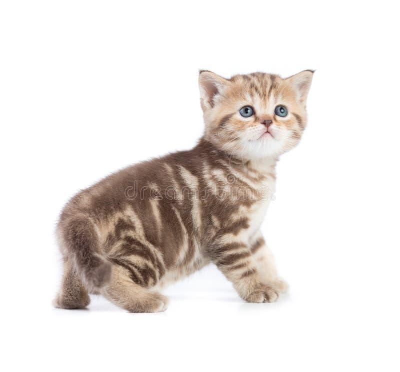 Gato ou gatinho novo que levantam-se e que olham a vista lateral isolada imagens de stock royalty free