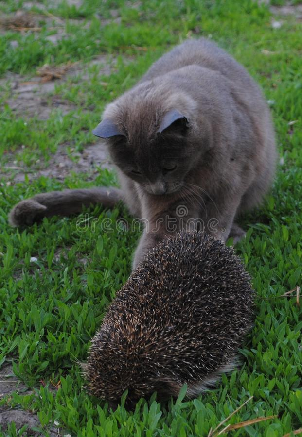 Gato, ouriço fotografia de stock royalty free
