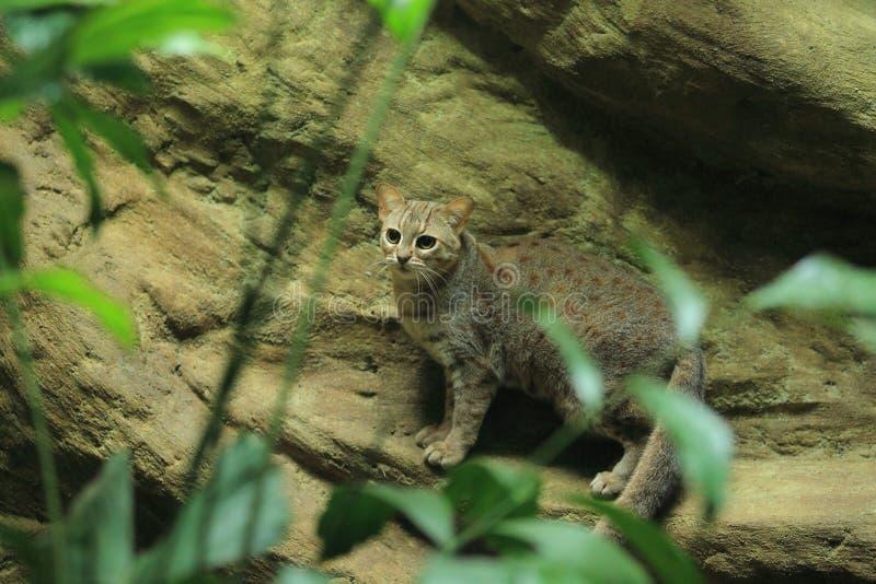 Gato oxidado-manchado Sri Lankan fotografia de stock royalty free