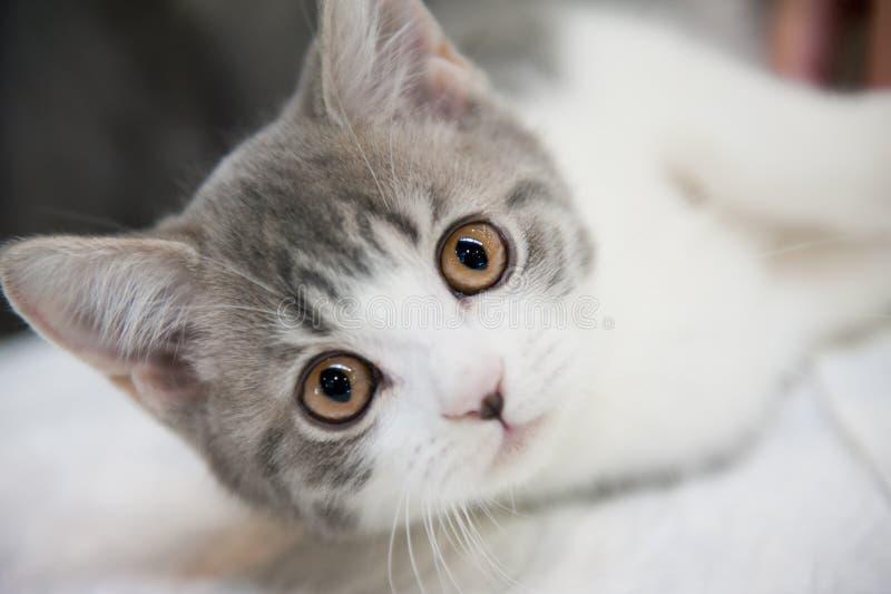 Gato pedigrí foto de archivo libre de regalías