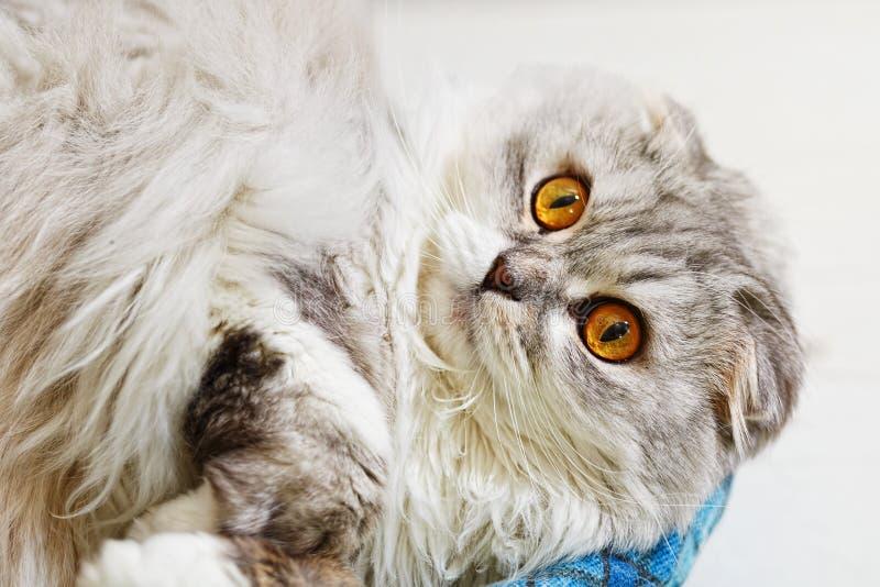 Gato pedigrí de orejas ca3idas con los ojos extensamente abiertos foto de archivo libre de regalías