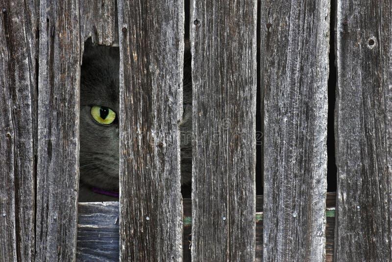 Gato Peeping Tom fotografia de stock