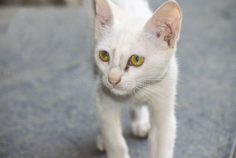 Gato peludo blanco del animal doméstico fotografía de archivo libre de regalías