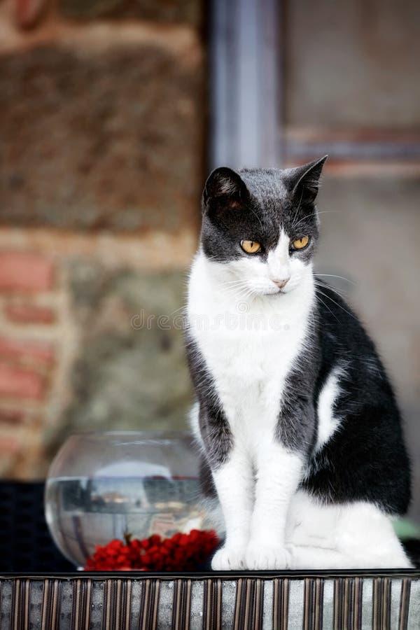 Gato peludo con una mirada tensa que se sienta cerca de un fishbowl fotografía de archivo libre de regalías