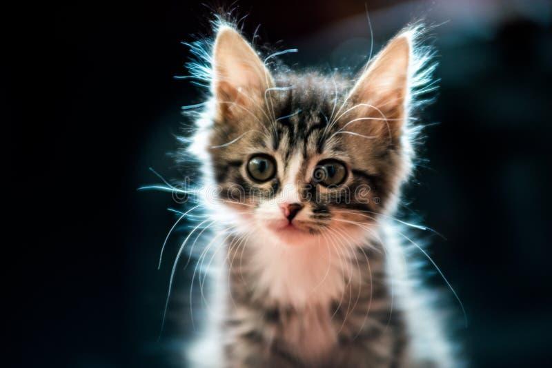 gato peludo da casa que olha em algum lugar na distância imagens de stock