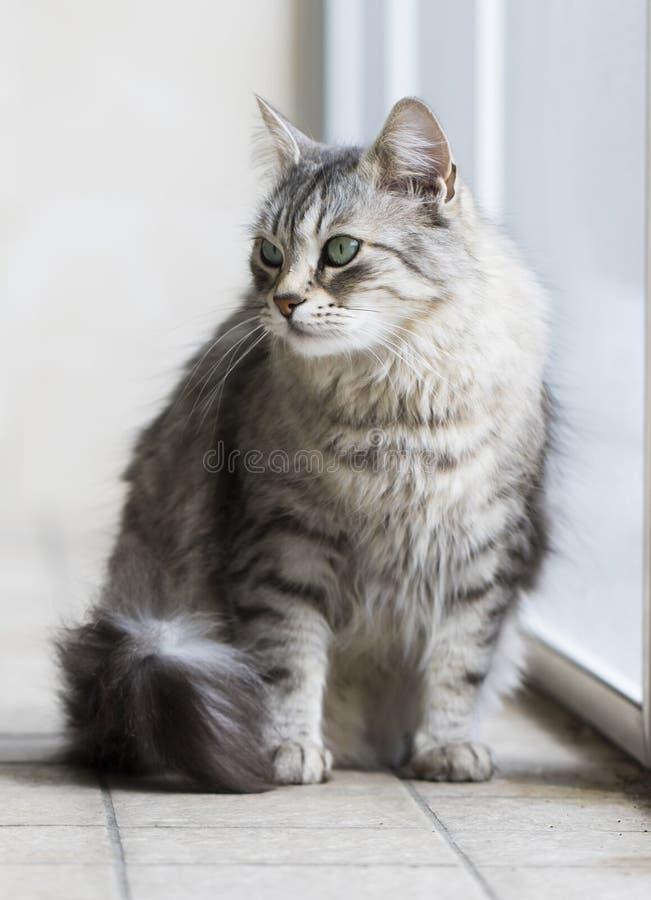 Gato peludo de Brown y gatito de la plata de la raza siberiana que juega en el jardín fotos de archivo