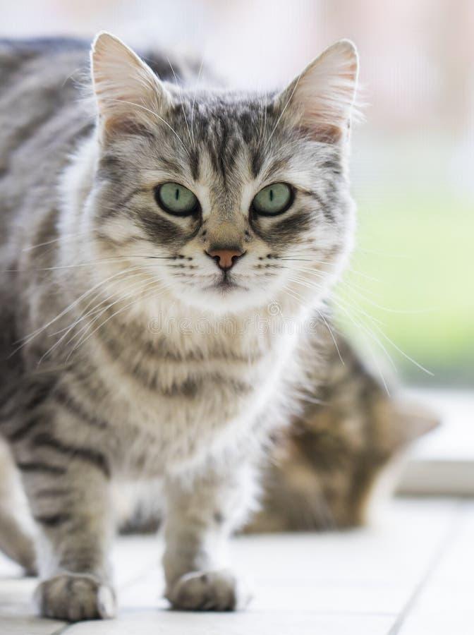 Gato peludo de plata de la raza siberiana en la ventana foto de archivo libre de regalías