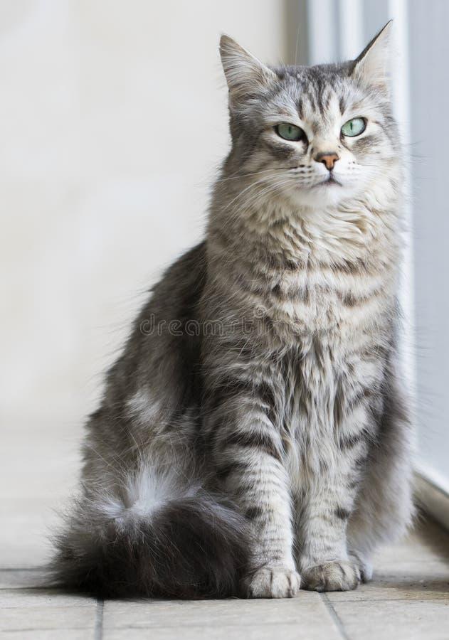 Gato peludo de plata de la raza siberiana en la ventana fotografía de archivo libre de regalías