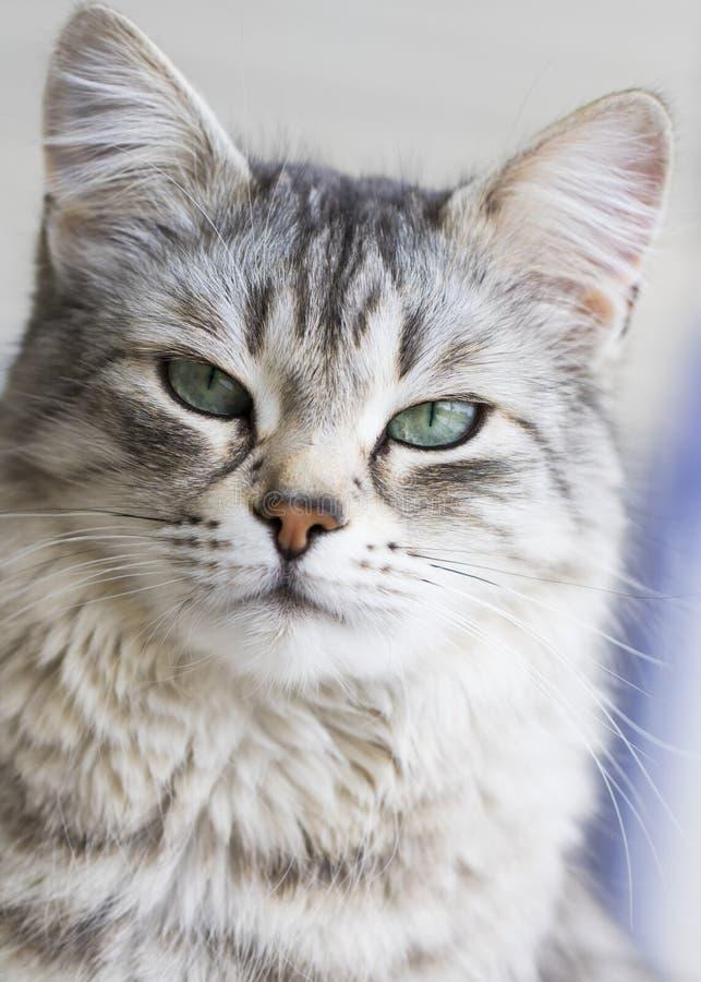 Gato peludo de plata de la raza siberiana en la ventana imagenes de archivo