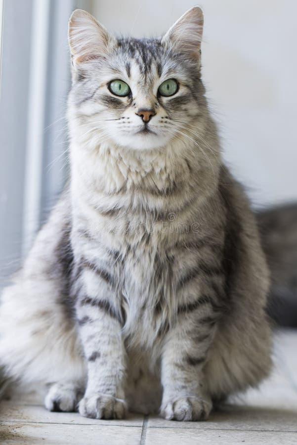 Gato peludo de plata de la raza siberiana en la ventana fotos de archivo libres de regalías