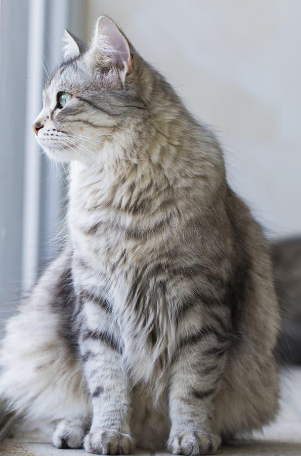 Gato peludo de plata de la raza siberiana en la ventana fotos de archivo