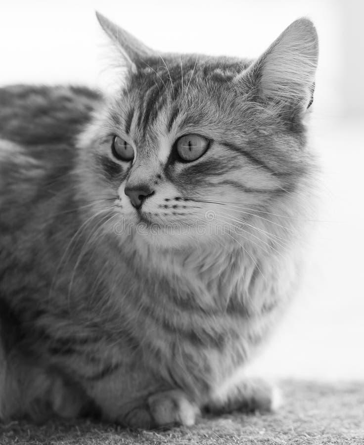 Gato peludo de plata de la raza siberiana en la ventana imagen de archivo