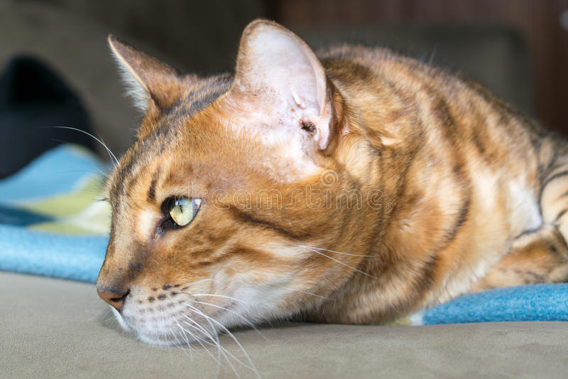 Gato pensativo de Bengala fotos de archivo