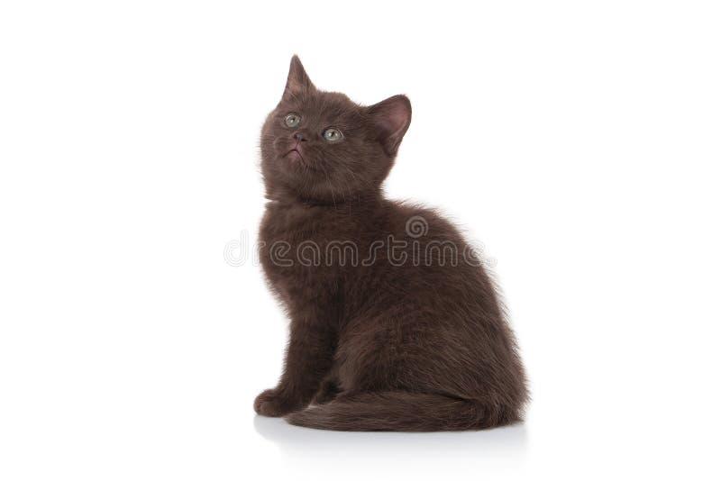 Gato Pequeño gatito británico en el fondo blanco fotografía de archivo