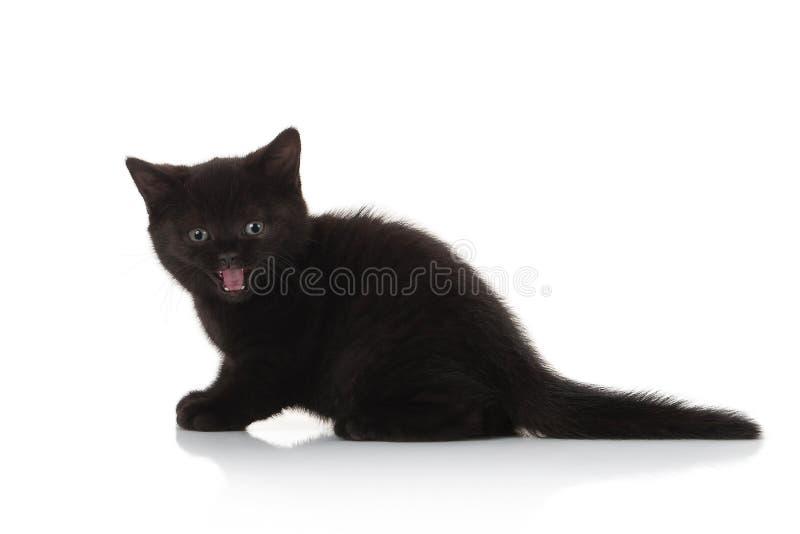 Gato Pequeño gatito británico en el fondo blanco foto de archivo