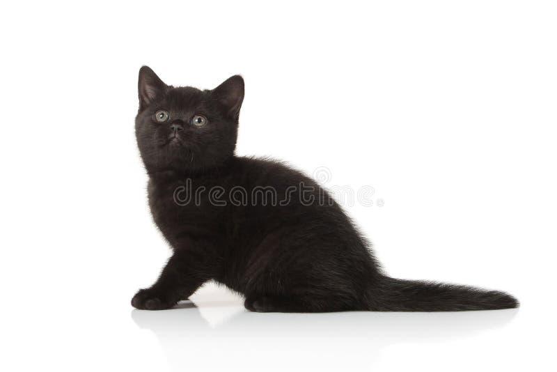 Gato Pequeño gatito británico en el fondo blanco foto de archivo libre de regalías