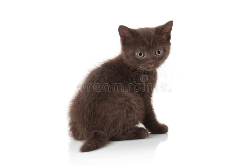 Gato Pequeño gatito británico en el fondo blanco fotografía de archivo libre de regalías
