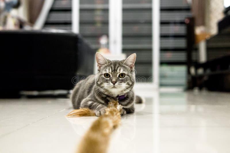 Gato pequeno de Shorthair do americano foto de stock
