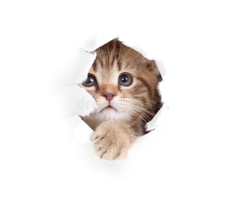 Gato pequeno que olha acima lado de papel no furo rasgado fotos de stock