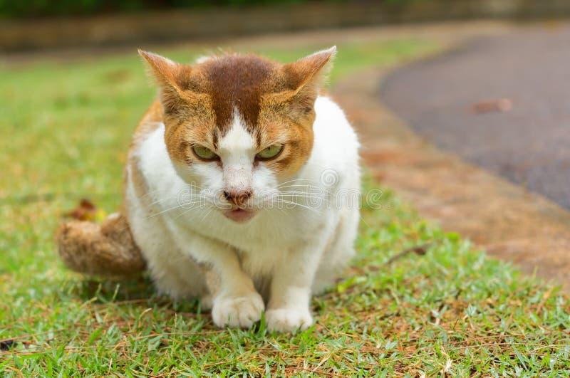 Gato perdido blanco y amarillo que se sienta en la hierba verde que mira a la cámara fotos de archivo libres de regalías
