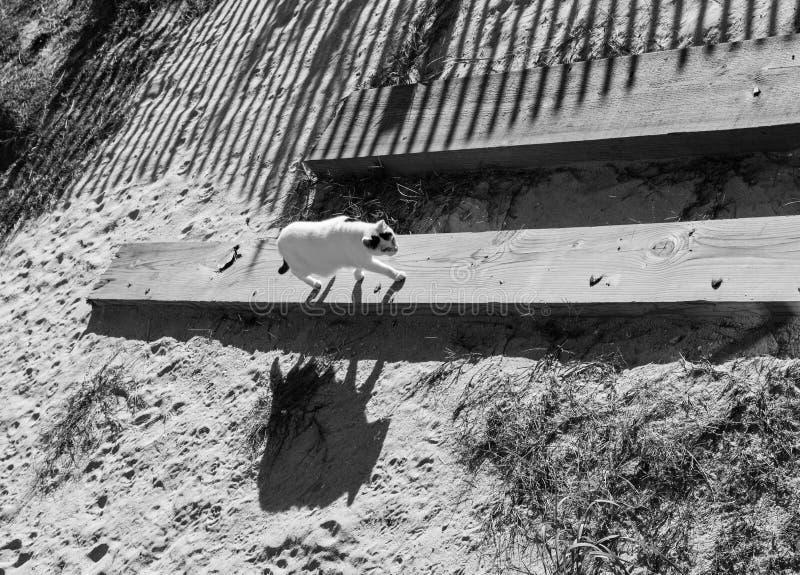 Gato perdido blanco y negro que camina en la playa imagen de archivo