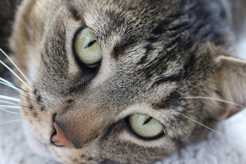 Gato perezoso foto de archivo libre de regalías